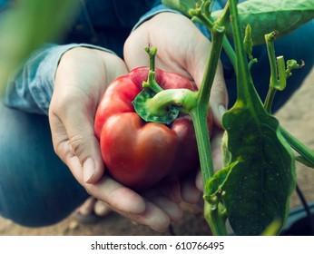 Sweet pepper on women hand  in the Greenhouse nursery.