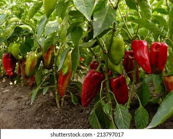 sweet peppers growing in the garden