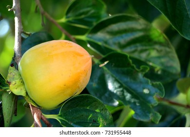 sweet persimmon tree