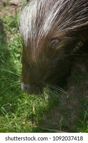 Sweet photo of a cute porcupine's face