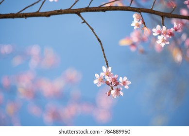 Sweet pink cherry blossoms on tree with blurred flowers and blue sky use for the soft background, spring background