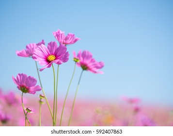 Sweet pink cosmos flowers with blurred background in cosmos field and blue sky, copy space useful for spring background or greeting card