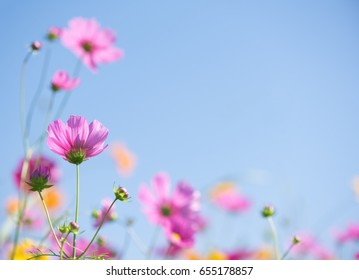Sweet pink cosmos flowers with blurred background in cosmos field and blue sky, copyspace useful for spring background