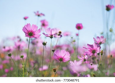 Sweet pink purple cosmos flowers in the field with blue sky background in cosmos field and  copy space useful for spring background or greeting card