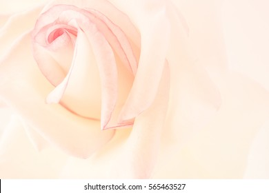 sweet pink rose in soft color and blur style for valentines day and wedding background