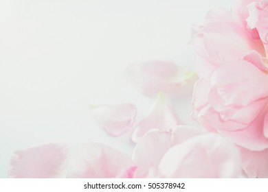 sweet pink roses in soft and blur style for romantic background