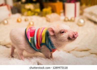 Sweet pinkish mini pig in rainbow clothing seems smiling while standing on the white fluffy rug