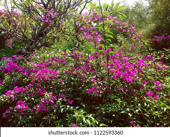 Sweet Pinky Bougainvillea Flowers in the Garden At Pemuteran Village North Bali