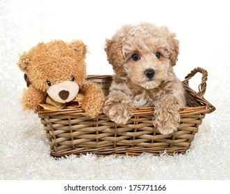 A sweet Poodle puppy sitting in a basket with a cute teddy bear, on a white background.