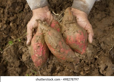 sweet potato at farm on hand