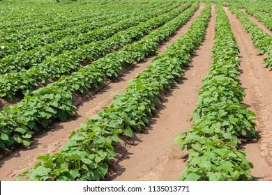 Sweet potato field on the farm