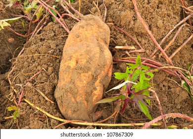 sweet potato ,harvest