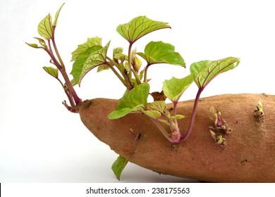 Sweet potato isolated on white background.