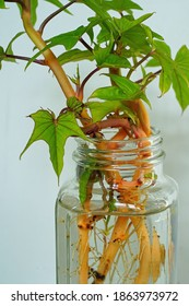 Sweet potato leaves growing roots from slips in a jar of water