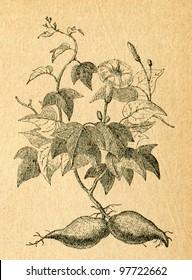 Sweet potato - old illustration by unknown artist from Botanika Szkolna na Klasy Nizsze, author Jozef Rostafinski, published by W.L. Anczyc, Krakow and Warsaw, 1911 - Shutterstock ID 97722662