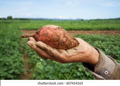 Sweet potato on farmer hand at organic farm