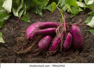 Sweet potato produce put on ground just harvested from biological farm at Japan