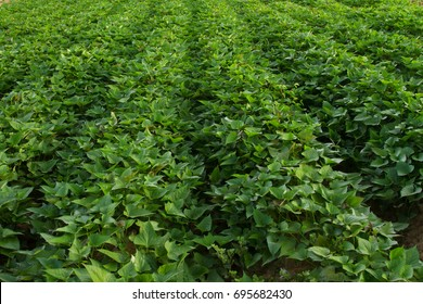 Sweet potato tree in farm fields