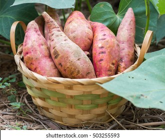 Sweet potatoes in a basket in the garden.