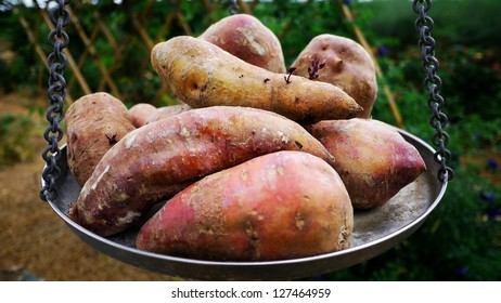 Sweet Potatoes on Weighing scale or Balance Scale.