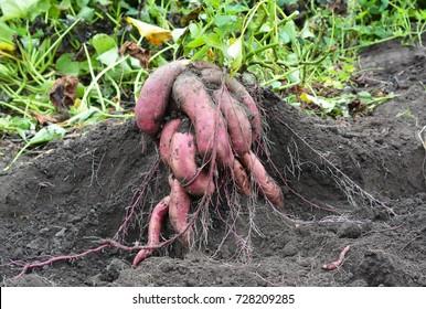 Sweet potatoes, yams harvesting. Organic sweet potatoes gardening. Sweet potatoes growing.