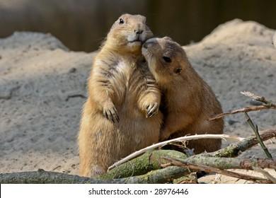 sweet prairie dogs