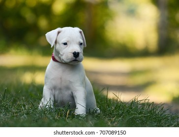 The sweet puppy Dogo Argentino sitting in grass summer. Front view