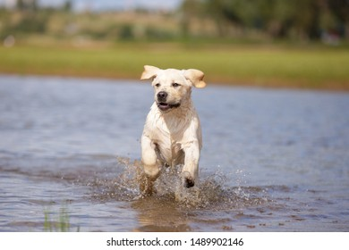 SWEET PUPPY LABRADOR RETRIEVER WALKING OUTDOOR PLAY IN WATER