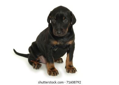 Sweet puppy on white background.