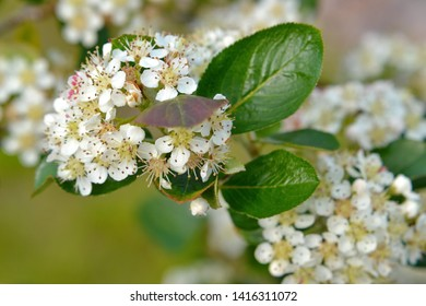 Sweet purple chokeberry, Aronia x prunifolia flowering in spring. Close up photo of flowers and leaves.