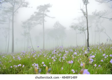 Sweet purple flowers in pine tree forest in the mist and rain, at Phu Soi Dao National Park, Thailand