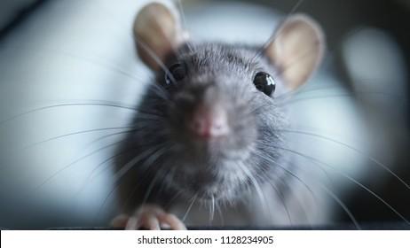 sweet rat face