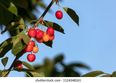 sweet red cherries in a tree