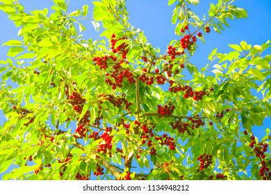 sweet red cherry fruits on the branches in the summer