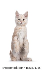Sweet red shaded Maine Coon cat kitten, sitting up facing front on hind paws like meerkat. Looking towards camera with droopy eyes. Isolated on white background.