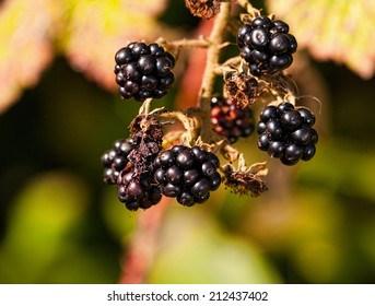 Sweet ripe blackberries on the bush