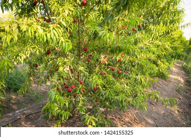 Sweet and Ripe nectarines or peaches on the tree. Nectarines on the branch in farm.