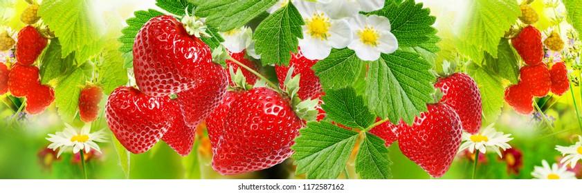 sweet ripe strawberries background