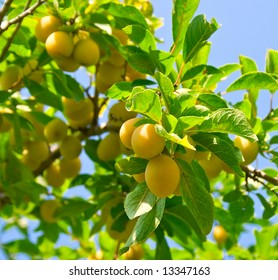 Sweet ripe yellow plum on a branch against the blue sky