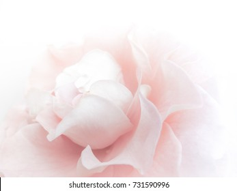 Sweet Rose flowers background. Macro of petals texture. Soft dreamy image
