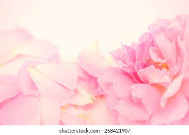 Sweet roses in soft color style for background