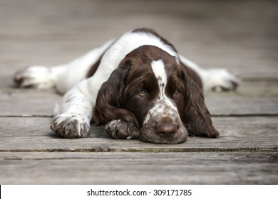 Sweet sad puppy lying on the wooden floor