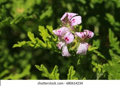 """""""Sweet Scented Geranium"""" flowers (or Rose Geranium, Wild Malva) in St. Gallen, Switzerland. Its Latin name is Pelargonium Graveolens (Syn Geranium Terebinthinaceum), native to South Africa."""