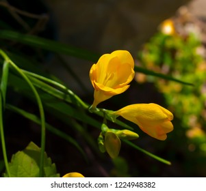 Sweet scented tubular blooms of old cottage garden  Freesia Iridaceae species in bright yellow  bloom in  late winter and early spring add fragrance and color to the garden.
