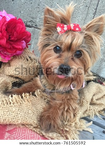 Sweet Senior Yorkie Red Top Knot Stock Photo Edit Now 761505592
