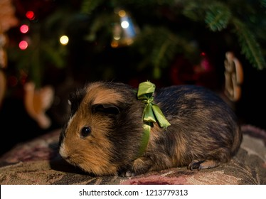 A sweet small guinea pig with green ribbon sit under the christmas tree - its a present