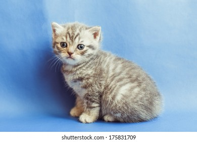 Sweet small kitten looking straight at the camera in front of blue background