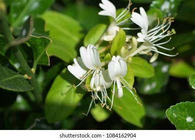 """Sweet smell """"Japanese honeysuckle flower"""""""