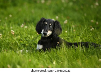 sweet smiling puppy Saluki black and tan persian sighthound outdoor on the grass