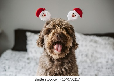 Sweet spanish water dog in her home wearing christmas costume, lying on her bed. Holydays at home. Lifestyle
